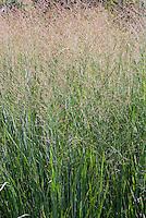 Panicum virgatum 'Heavy Metal' aka 'Heiliger Hain' ornamental grass