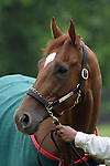 Animal Kingdom, winner of the 137th Kentucky Derby, awaits his bath after a morning gallop at Fair Hill Training Center in Fair Hill, MD on May 14, 2011. (Joan Fairman Kanes/EclipseSportswire)