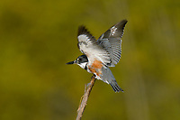 Female Belted Kingfisher (Megaceryle alcyon), Western U.S.