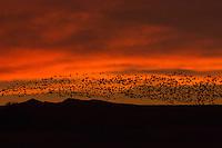 Snow Geese blasting off at sunrise
