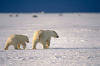 polar bear, Ursus maritimus, mother with cub walking along the pack ice, 1002 area of the Arctic National Wildlife Refuge, Alaska, polar bear, Ursus maritimus