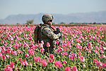 2nd Lt. Seth Maldonado, 25, of Long Island, N.Y., a soldier with Company C,  2nd Battalion, 2nd Infantry Regiment, walks through an opium poppy field during a patrol near the villages of Loy Kariz and Sawar Kariz in Maiwand district, Kandahar province, Afghanistan.  April 9, 2009. DREW BROWN/STARS AND STRIPES
