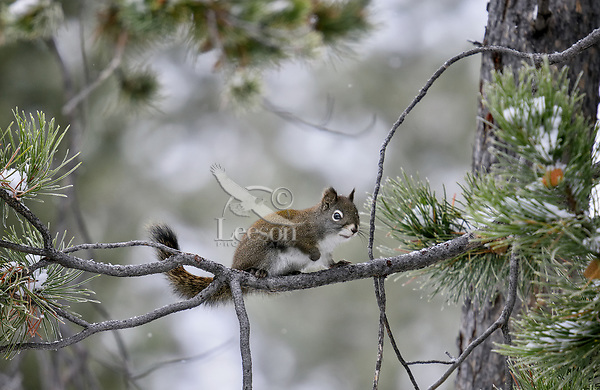 Red Squirrel on pine tree branch.  Western U.S., winter.