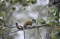Red Squirrel on pine tree branch.  Western U.S., winter.