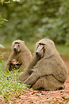 Olive Baboon (Papio anubis) male with female nursing her young, Kibale National Park, western Uganda