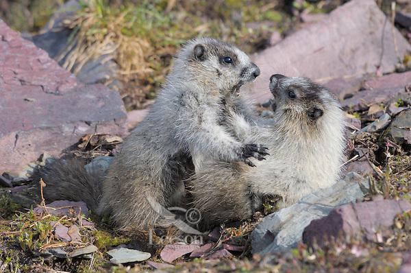 Young Hoary Marmots (Marmota caligata) wrestle--wrestling is a common marmot behavior. Glacier National Park, Montana.  Summer.