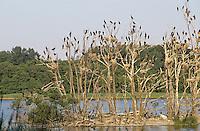 Kormoran, Brutkolonie, Kolonie, Nester auf Baum, Bäume sind vom scharfen Kot der Vögel abgestorben, Phalacrocorax carbo, great cormorant