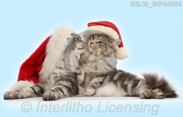 Kim, CHRISTMAS ANIMALS, WEIHNACHTEN TIERE, NAVIDAD ANIMALES, photos+++++,GBJBWP45584,#xa#