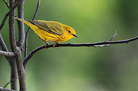 The bright, sweet song of the Yellow Warbler is a familiar sound in streamside willows and woodland edges.