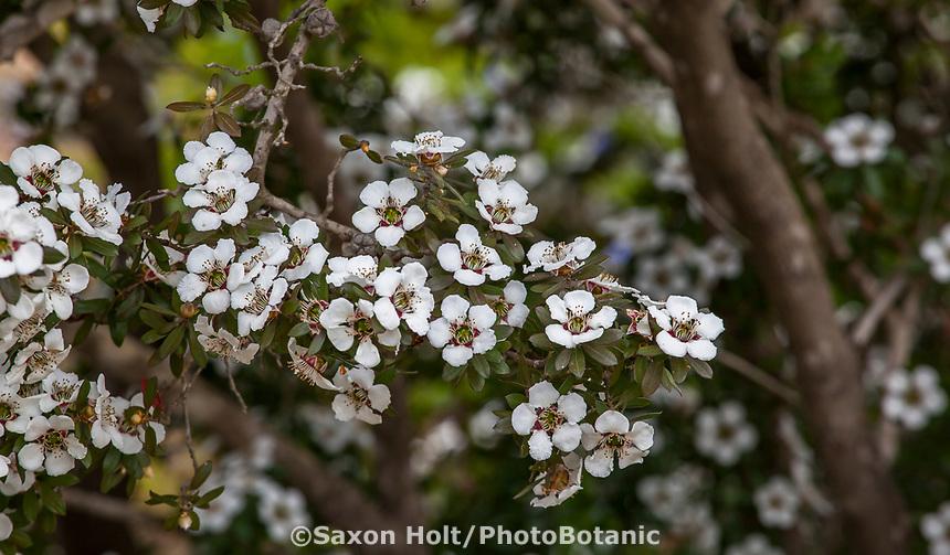Leptospermum turbinatum 'Flat Rock' Shining tea tree, (syn. Leptospermum nitidum) Australian shrub flowering in UC Santa Cruz Arboretum and Botanic Garden