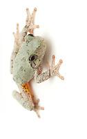 Gray Tree Frog.Hyla versicolor