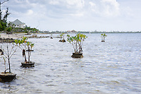 Mangroves planted in cement balls along the sea edge