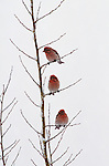 Perched in a young aspen in Northwest Wyoming, three male Cassin's finches wait out a late spring snowstorm.