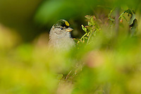 Golden-crowned Sparrow.  Pacific Northwest.