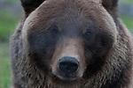 Black Bear staring at ther camera.  Captive