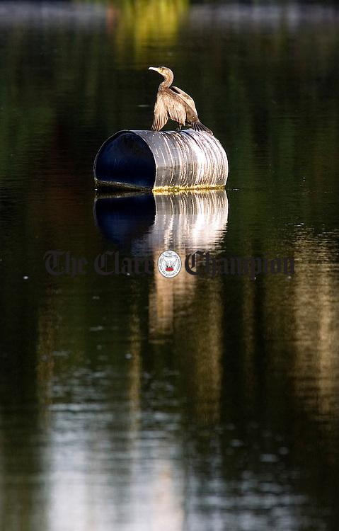 A Heron basks in the morning sunlight on the river Shannon in Killaloe Co Clare.Pic Arthur Ellis.