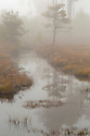 Heathland pool on a misty morning, Thursley Common National Nature Reserve, Surrey, UK. October.