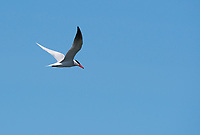 Caspian Tern, Hydroprogne caspia, flying over San Francisco Bay at Cesar Chavez Park, Berkeley, California
