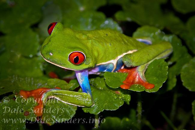 Red-eyed Tree Frog ( Agalychnis callidryas ), Aranal, Costa Rica.