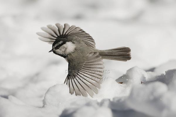 Mountain Chickadee (Poecile gambeli), adult in flight, Yellowstone National Park, Wyoming, USA