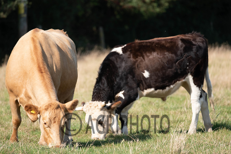 23-9-2021 Suckler cows and calves <br /> ©Tim Scrivener Photographer 07850 303986<br />      ....Covering Agriculture In The UK....