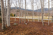 Birch trees in Pinkham Notch of the New Hampshire White Mountains during the autumn months.