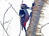 Weißrückenspecht, Weissrückenspecht, Männchen, Dendrocopos leucotos, white-backed woodpecker, male, Le Pic à dos blanc