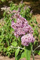 Butterfly Bush Buddleja davidii 'Pink Pagoda' aka Buddleia davidii Pink Pagoda