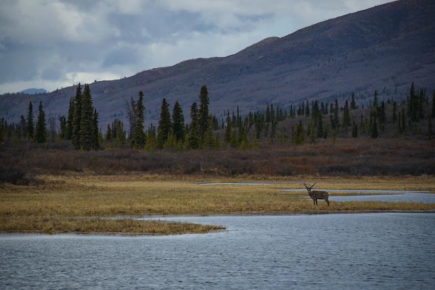Caribou, Eureka, Alaska. Photo by James R. Evans