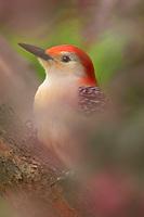 Red-bellied Woodpecker (Melanerpes carolinus) in redbud tree.  Eastern U.S., Spring.