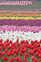 Field of multi colored tulips . Tulip Town Mt. Vernon. Washington