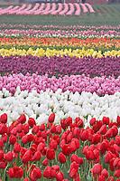 Field of multi colored tulips . Tulip Town Mt. Vernon. Washington