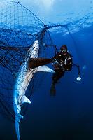 pelagic thresher shark, Alopias pelagicus, in drift gill net, Sea of Cortez, Mexico, Pacific Ocean