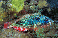 redband parrotfish, Sparisoma aurofrenatum, initial phase adult, asleep at night, Commonwealth of Dominica (Eastern Caribbean Sea), Atlantic