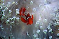 Spine-cheek anemonefish, Premnas biaculeatus, Fiji, Pacific Ocean