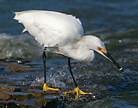 Snowy egret with minnow