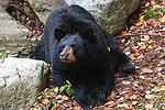 American black bear full body shot looking at camera.