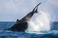 humpback whale, Megaptera novaeangliae, peduncle throw, Silver Bank, Dominican Republic, Caribbean Sea, Atlantic Ocean