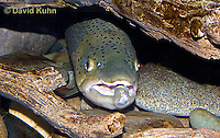 """1215-0903  Brown trout or Sea trout Hiding Under Log, Salmo trutta fario """"Introduced species to the United States from Europe"""" © David Kuhn/Dwight Kuhn Photography"""