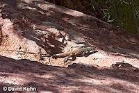 0616-1001  Great Basin Whiptail (Tiger Whiptail), Aspidoscelis tigris tigris © David Kuhn/Dwight Kuhn Photography