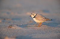 Piping Plover (Charadrius melodus), male in breeding plumage foraging at Nickerson Beach Park, Lido, New York.