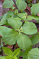 Vierblättrige Einbeere, Paris quadrifolia, Herb Paris, Herb-Paris, true lover's knot, La Parisette à quatre feuilles, Étrangle-loup, Herbe à Pâris, Raisin-de-renard