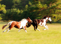 American Paint Horses gallop across open field..
