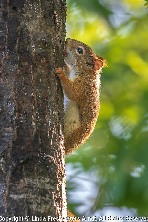 American red squirrel licking sap from a tree in northern Wisconsin.