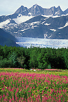 Locals enjoy a hike along a walkway the fireweed at Brotherhood Park, Juneau. Mendenhall Glacier terminus in the distance.