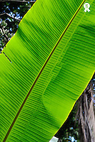 Banana trees (Musa sp.) leaves, close-up, Hilo, Big Island, Usa (Licence this image exclusively with Getty: http://www.gettyimages.com/detail/85985776 )
