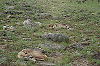 Young Pronghorn Antelope fawns spend most of their first week to ten days lying still to avoid the sharp eye of predators.  Western U.S., June.