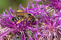 Dickkopf-Furchenbiene, Furchenbiene, Schmalbiene, Weibchen, Halictus maculatus, Tythalictus maculatus, female, sweat bee, flower bee, halictid bee, Furchenbienen, Halictidae