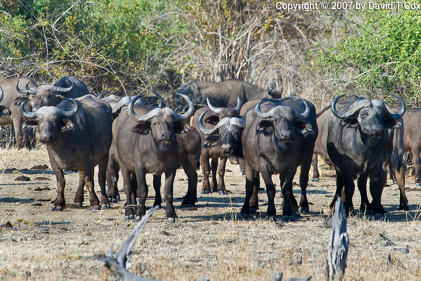 Cape Buffalo, ,South Luangwa NP, Zambia