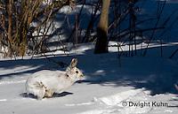 MA19-550z  Snowshoe Hare running on snow,  Lepus americanus